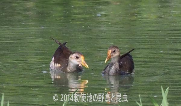 勅使池のバン170810