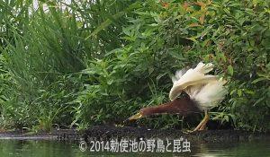 勅使池のアカガシラサギ170730-1