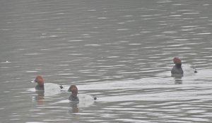 勅使池のホシハジロ161121