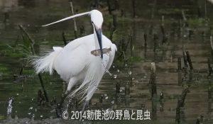 勅使池のコサギ170620
