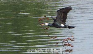 勅使池のカワウ170913