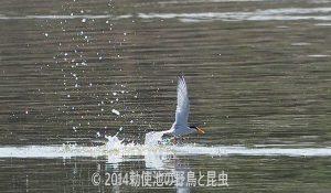 勅使池のコアジサシ170617