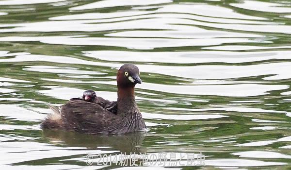 勅使池のカイツブリ170606