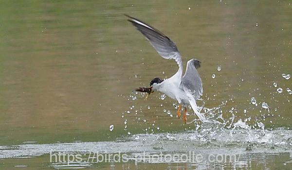 勅使池のコアジサシ200614