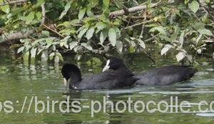 勅使池のオオバン200926