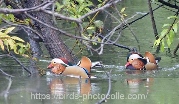 勅使池のオシドリ201017-2