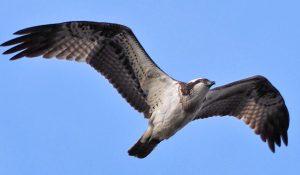 勅使池の野鳥ミサゴ170214