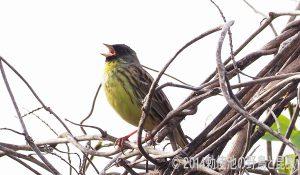 勅使池の野鳥アオジ170503