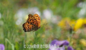 勅使池のツマグロヒョウモン170617