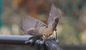 勅使池の野鳥モズ170211