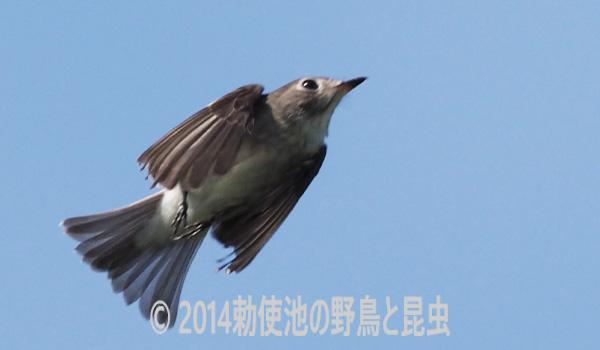 勅使池のコサメビタキ171008-1