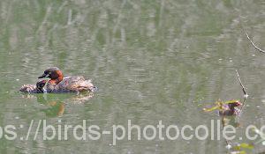 勅使池のカイツブリ180710