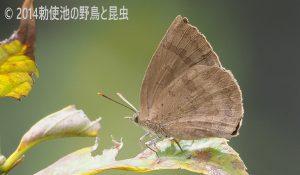 勅使池のムラサキシジミ170409