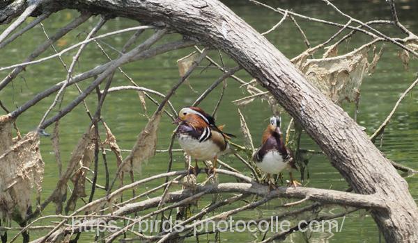 勅使池のオシドリ200608-3