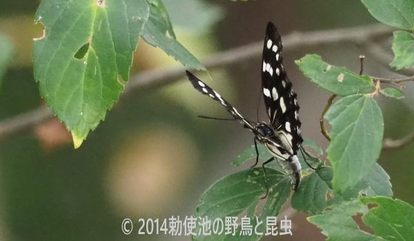 勅使池のゴマダラチョウ170730-1