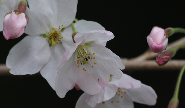 勅使池の桜
