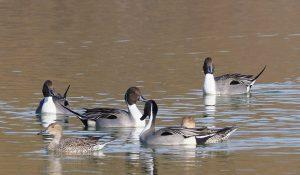 勅使池の野鳥オナガガモ170211
