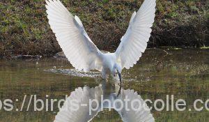 勅使池のコサギ200322-2