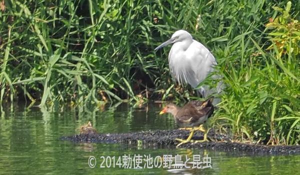 勅使池のバン170831