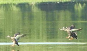 勅使池のカルガモ161015
