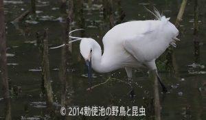 勅使池のコサギ170620-3