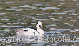 勅使池のミコアイサ190406