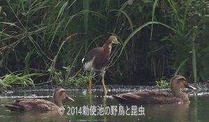 勅使池のカルガモ170729