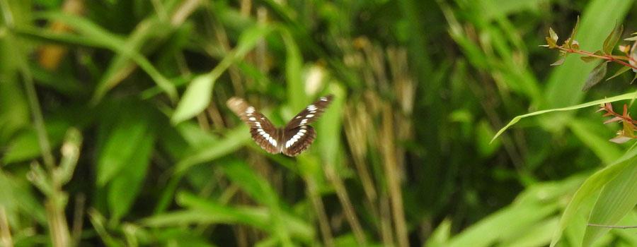 勅使池のサカハチチョウ