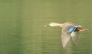 勅使池のカルガモ161014