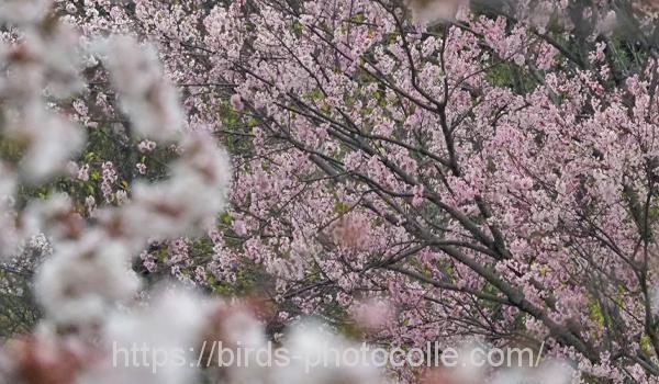 「みどりが丘公園」の桜