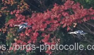 勅使池のミコアイサ201115-2