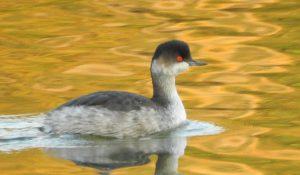 勅使池の野鳥ハジロカイツブリ161105-1