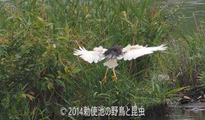 勅使池のアカガシラサギ170728-2