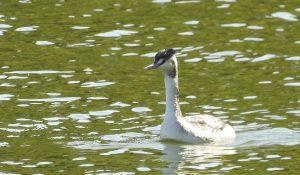 勅使池のカンムリカイツブリ161030