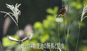 勅使池のノビタキ171025