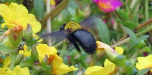 勅使公園のクマバチ