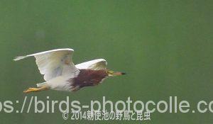 勅使池のアカガシラサギ170730-3