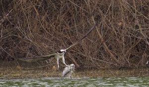 勅使池の野鳥ミサゴ170211