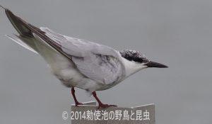 勅使池のクロハラアジサシ170928-1