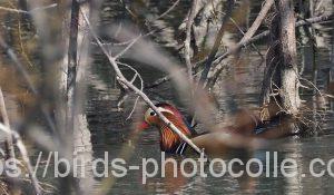 勅使池のオシドリ190226