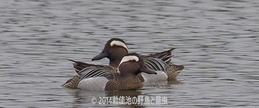 勅使池の野鳥 シマアジ