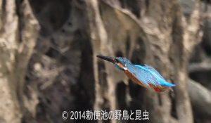 勅使池のカワセミ170622-2