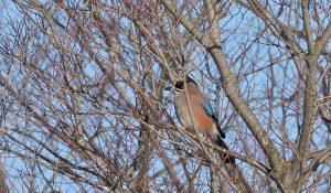 勅使池の野鳥カケス170212