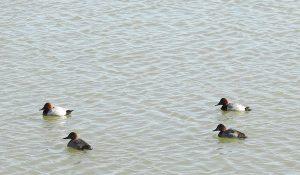 勅使池のホシハジロ161210