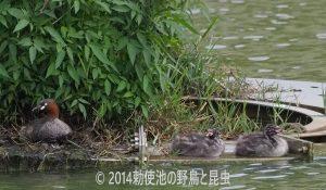 勅使池のカイツブリ170627