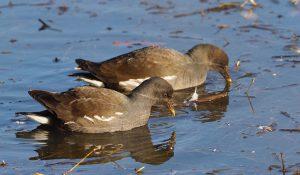 勅使池の野鳥バン170212