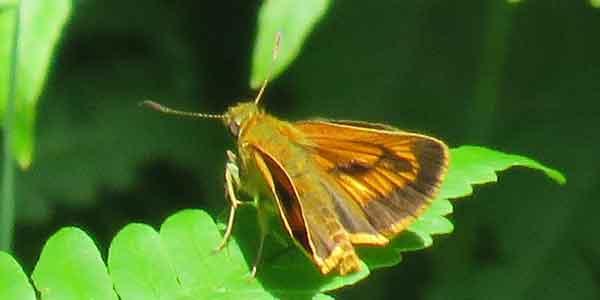 勅使池の昆虫ヒメキマダラセセリ