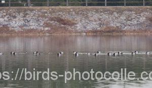 勅使池のホシハジロ200215