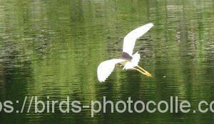 勅使池のアカガシラサギ160912-4