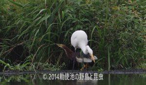 勅使池のダイサギ170727